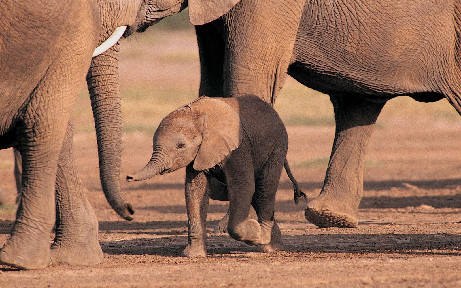 olifanten achtergronden bureaublad - photo #15
