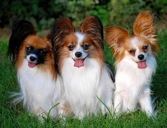 Everything about your Papillon