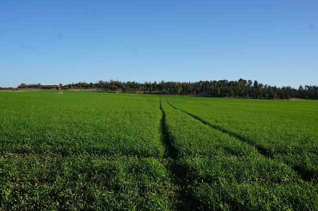 שדות חיטה ירוקים
