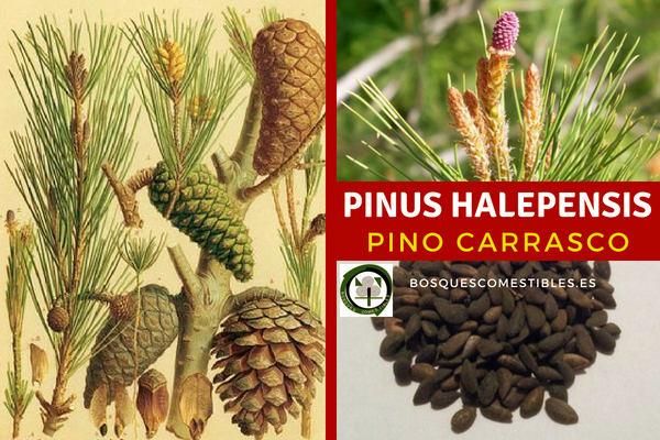 El Pino Carrasco, Pinus halepensis, sus Piñas son alargadas de forma aovado-cónicas, sobre un grueso pedúculo de 1-2 cm
