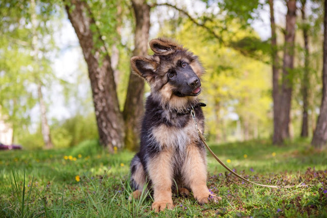 German-Shepherd-Puppy-sitting-in-park