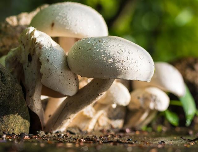 Processed Mushrooms