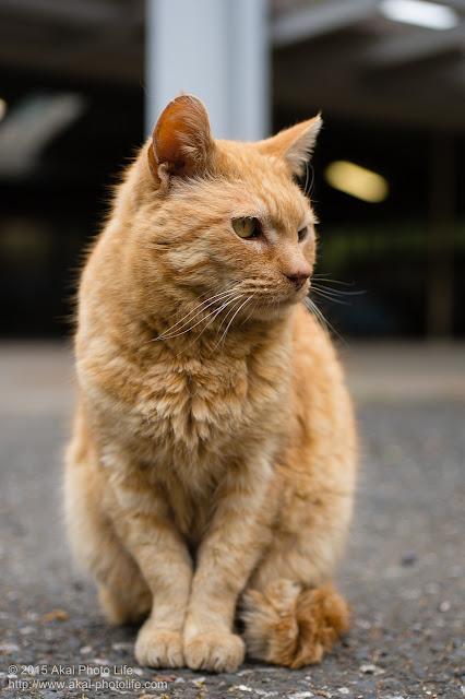 冬毛の茶色い猫