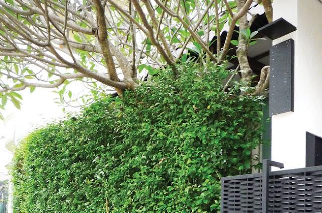 Cabang Pohon Yang Menjulur Ke Kebun Orang Lain