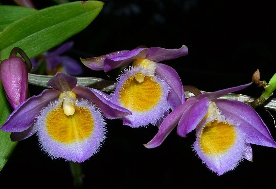 Dendrobium Loddigesii Care And Culture Travaldos Blog