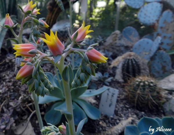 floare-de-cactus