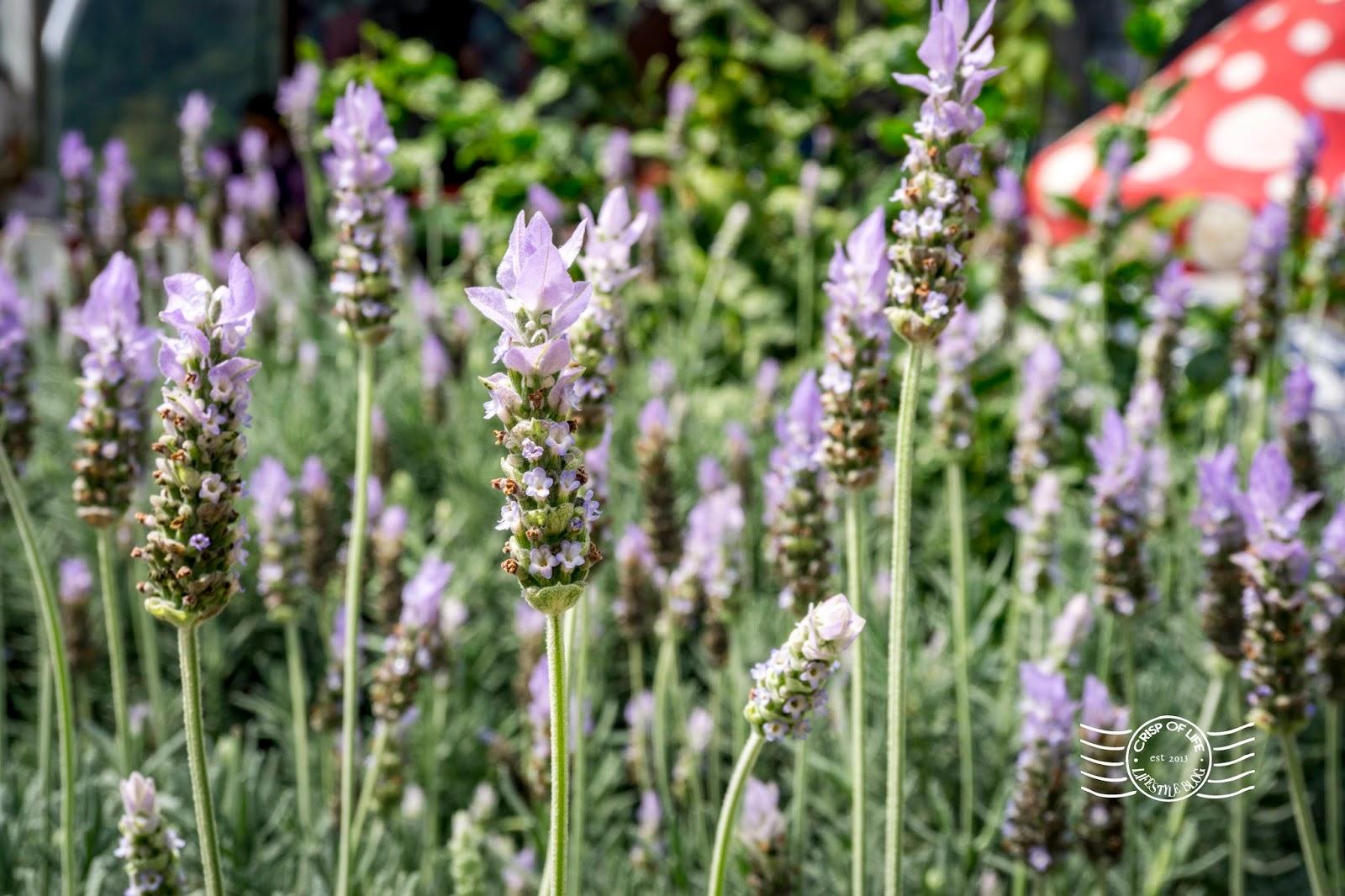 Lavender Garden Cameron Highlands