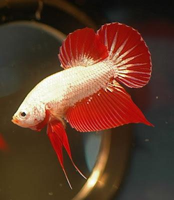 Jenis Jenis Ikan Cupang : Cupang Alam Cupang Aduan dan ...