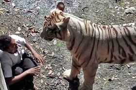 White tiger in Delhi zoo mauls man to death