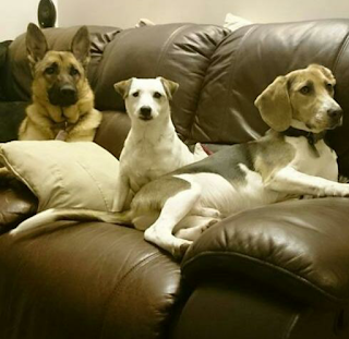 German Shepherd, Jack Russell Terrier and Beagle dogs