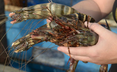 Giant Tiger Shrimp Suppliers Online Shopping