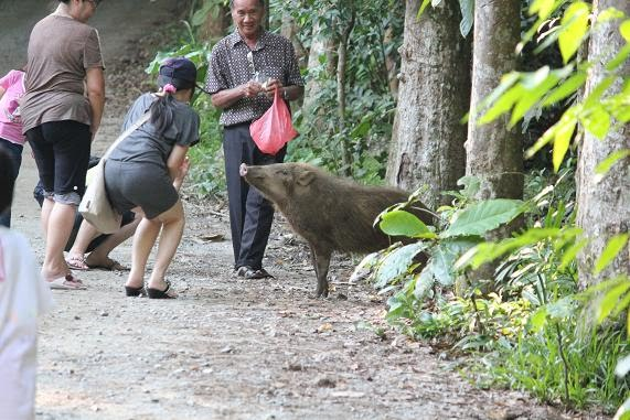 A docile wild boar (is that an oxymoron?).