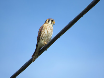 american kestrel bird photography