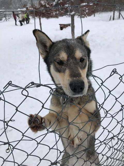 Centre d'aventure Mattawin chiot traîneau chiens