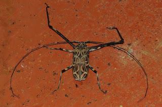 Acrocinus longimanus, Harlequin Beetle