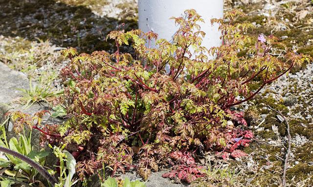 Herb Robert, Geranium robertianum.  Hayes station car park, 24 April 2016.