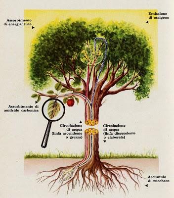 Come si nutrono le piante for Le piante sempreverdi