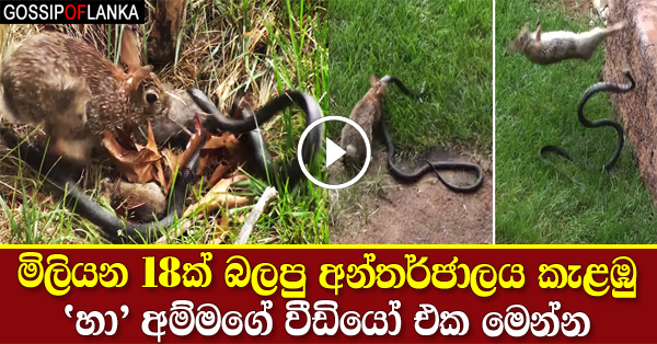 Mother Rabbit Fights Big Black Snake To save Its babies
