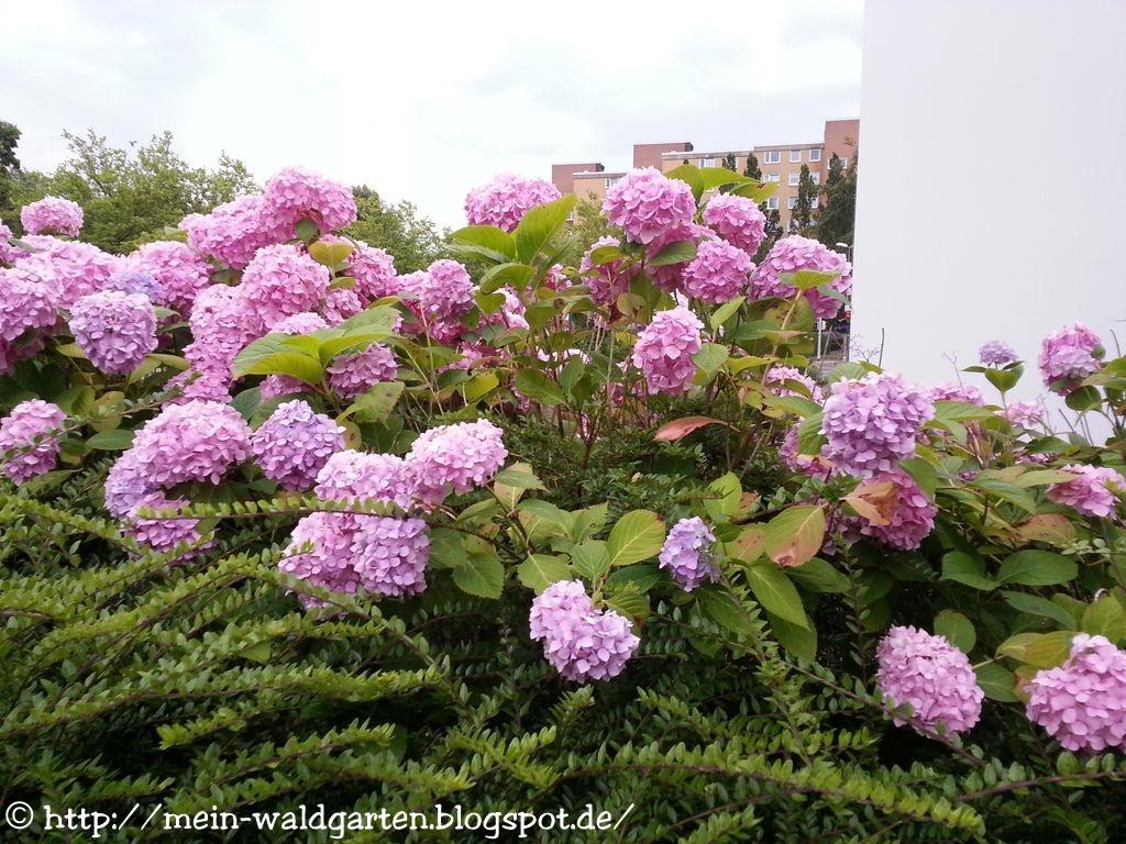 mein waldgarten pinky winky mein hortensiengarten. Black Bedroom Furniture Sets. Home Design Ideas