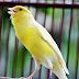 Download Suara Burung Kenari Betina Memanggil Jantan Mp3 Gratis
