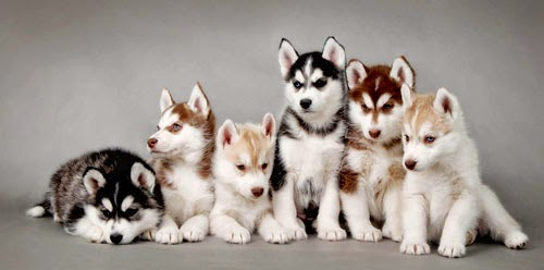 Everything about your Siberian Husky