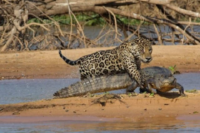 Fight between a Jaguar and a Caiman By video