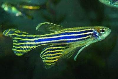 Lựa chọn một số loại cá cảnh nhỏ phù hợp cho bể cá trong nhà