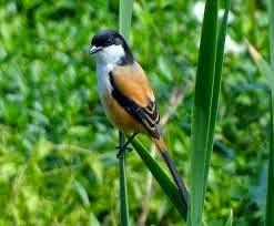 Daftar Burung Kicau Paling Populer