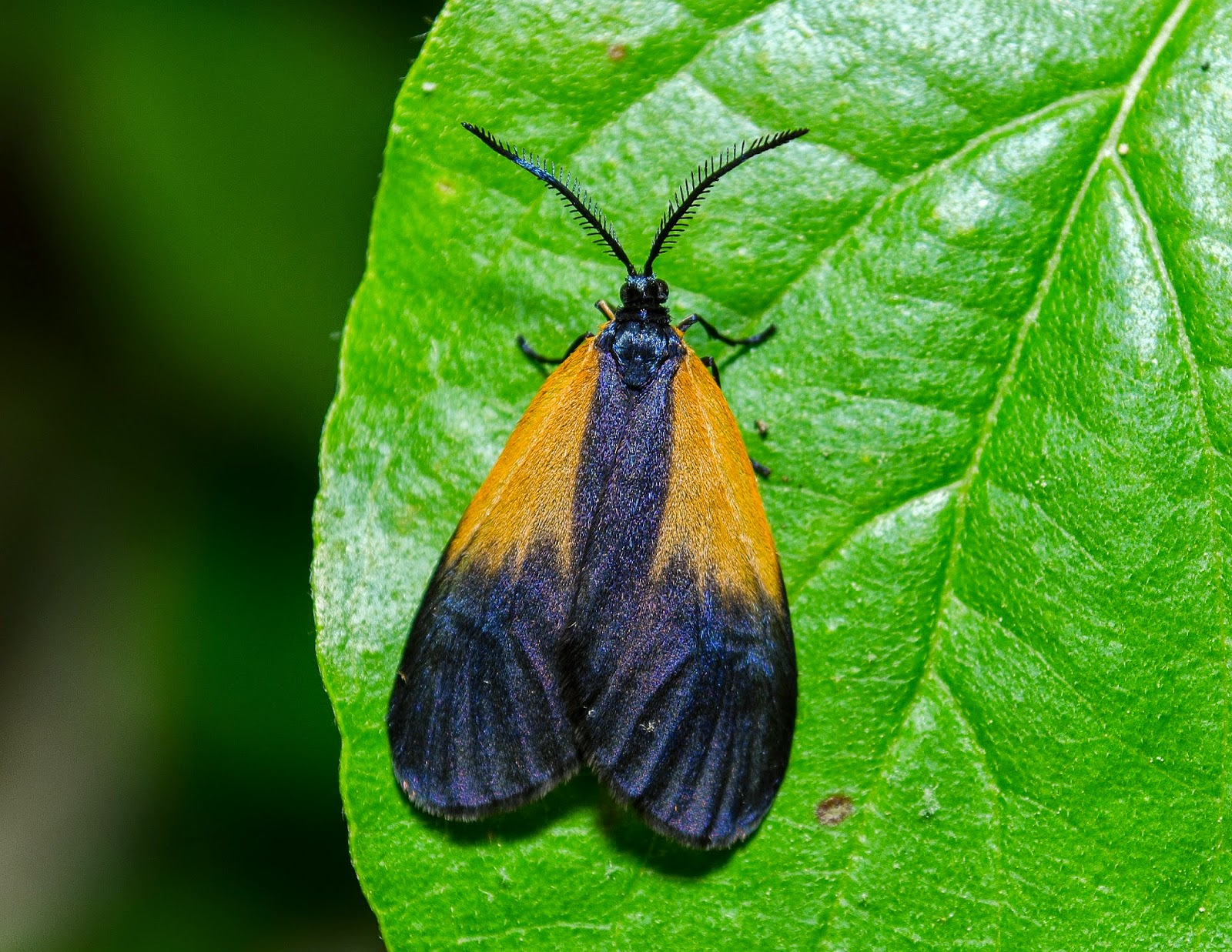 Orange-Patched Smoky Moth, Pyromorpha dimidiata