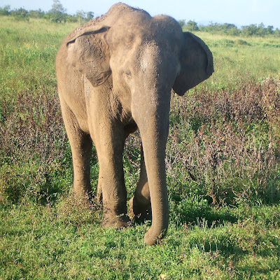 An Asian elephant in Udawalawe national park