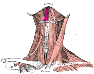geniohyoid muscle, anatomy