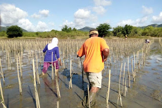 Menghitung mangrove tertanam