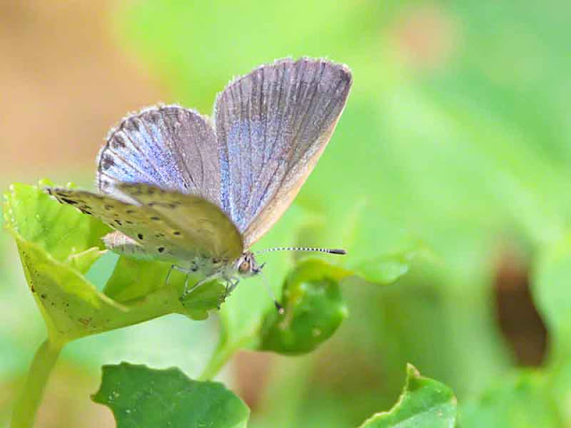 blue winged butterfly, striated antenna