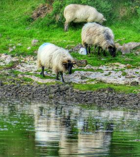 Sheep in Westport Ireland