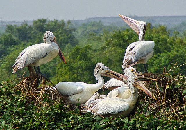 Pelicans at Nelapattu Bird Sanctuary in Nellore