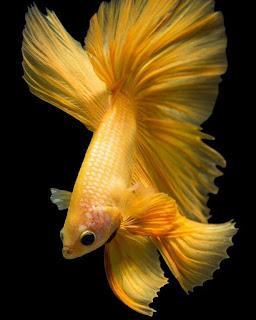 foto wallpaper ikan cupang