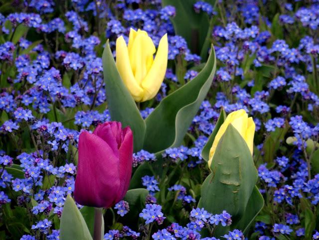 Tulips - Novi Sad