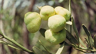 Desert lime fruit images wallpaper