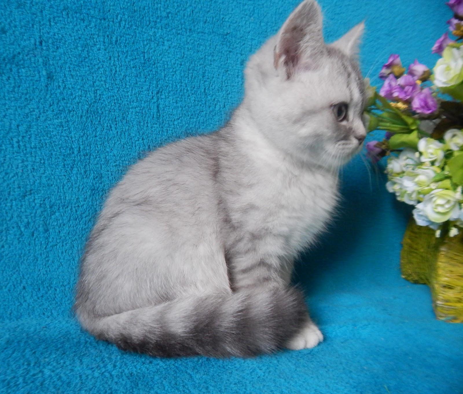 Шотландские котята прямоухие окрас фото