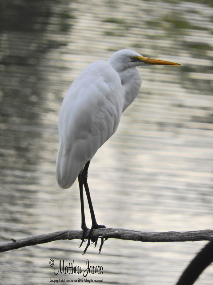 A Light In The Darkness Egret Totem Bird Of The Day