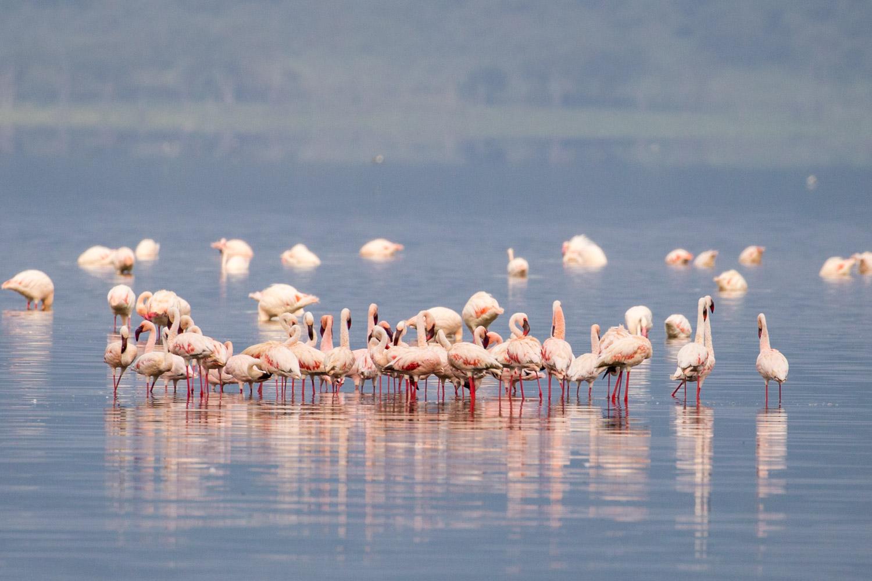 Flamencos en el lago Nakuru