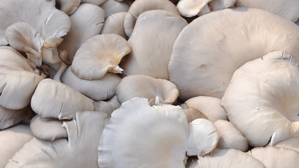 OYSTER MUSHROOMS FARMING (CULTIVATION) IN INDIA