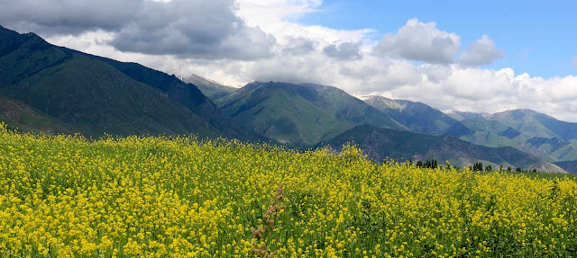 Alfalfa falcada y plantas leguminosas
