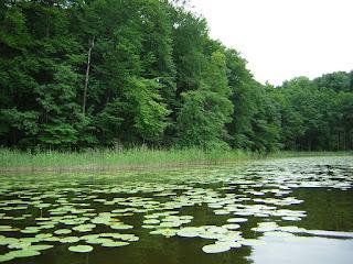 rzęsa wodna w jeziorze
