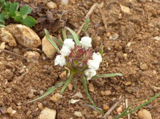 Brunelle blanche