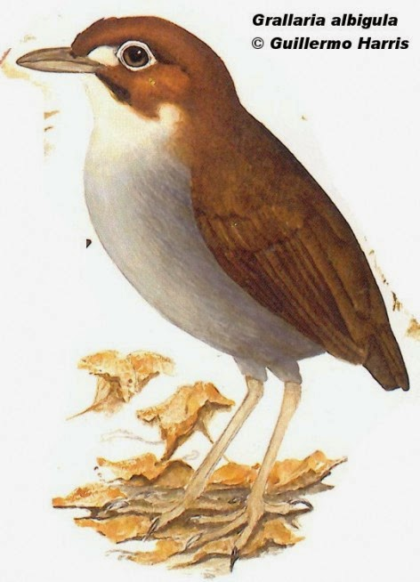 White throated Antpitta