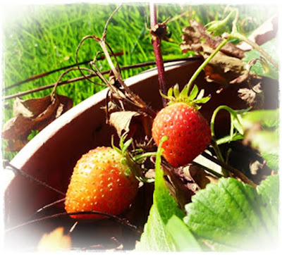 homegrown-strawberries
