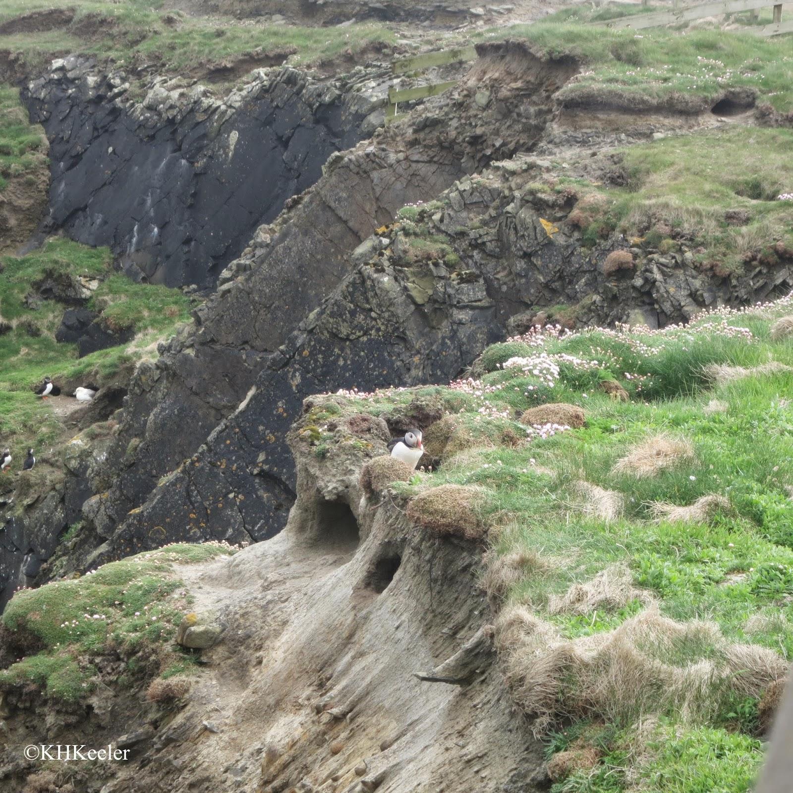 puffin, Shetland