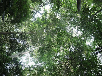 Forest canopy viewed from below