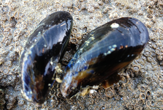 moule peche mollusque
